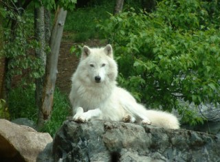pointedly-white-wolf