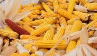Протест против ГМО: Сингента се суочава са нагомиланим тужбама због ГМОсемена